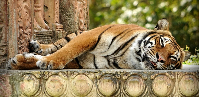 lazy lounging sleeping tiger big cat