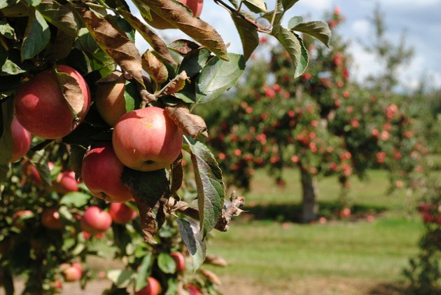 Apple Orchard, AllieOooster,flickr