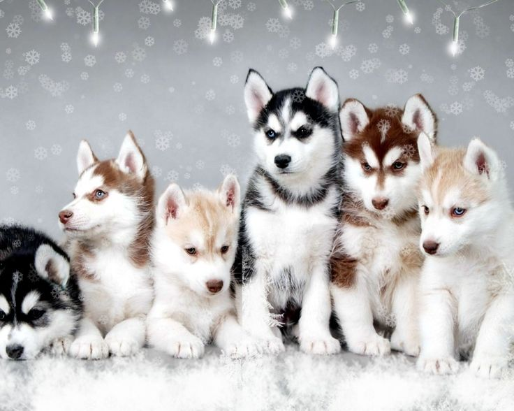 Huskies husky pups puppies dogs