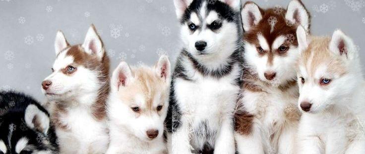 Huskies husky pups puppies dogs